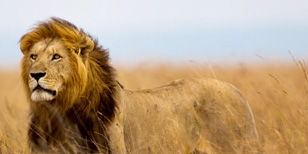 The Killing of Cecil the Lion - How the Internet Reacted